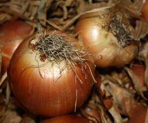 หอมหัวใหญ่ ใช้รับประทานสด เป็นผักสลัด หรือใช้ในการปรุงอาหารได้หลายชนิด