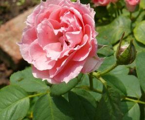 ยี่สุ่น หรือ กุหลาบหนู นิยมปลูกเป็นไม้ดอกคลุมดิน
