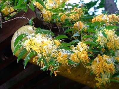 ต้นสายน้ำผึ้ง