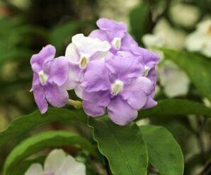 พุดสามสี ดอกมีกลิ่นหอมตลอดวัน ออกดอกตลอดปี