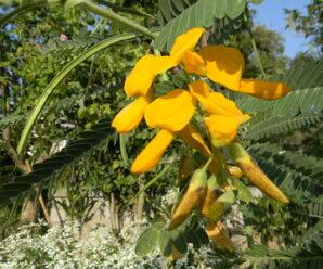 ต้นโสน ดอกรับประทานเป็นอาหารได้ทั้งคาวและหวาน