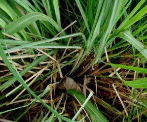 หัวจังไคร้หอม ไคล หัวขิงไคร จะไคร้มะขูด ตะไคร้มะขูด ตะไคร้แดง กำจัดแมลง ป้องกันและกำจัดศัตรูพืช