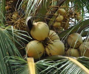 มะพร้าวน้ำหอม ชื่อวิทยาศาสตร์ ภาษาอังกฤษ : Cocos nucifera Linn