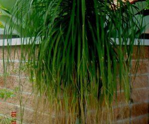 ต้นแส้ม้า ใบโค้งงอลง เวลาใบดกจะแพร่กระจาย คล้ายน้ำพุหรือแส้ม้า