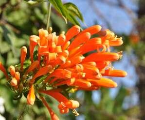 พวงแสด ไม้เถาเลื้อยที่มีขนาดใหญ่ สามารถเลื้อยเกาะได้ไกล ปลูกเป็นไม้ดอกไม้ประดับ