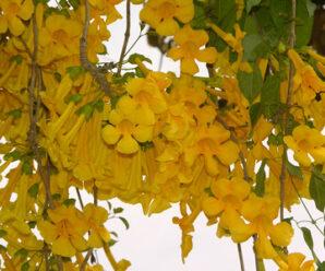 เหลืองชัชวาล ปลูกเป็นไม้ประดับซุ้มไม้เลื้อยให้ร่มเงา