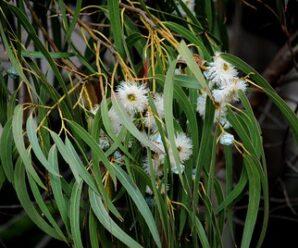 ยูคาลิปตัส โกฐจุฬารส น้ำมันเขียว มันเขียว ลำต้นนำมาทำกระดาษ ใช้เป็นวัสดุในการก่อสร้าง