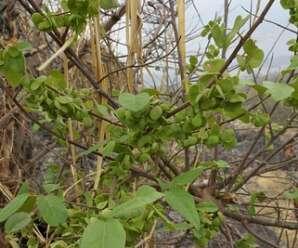 หูลิง แฟบหูลิง(ใต้) ไม้พุ่มหรือไม้ยืนต้นขนาดเล็ก ผลสีเขียว มีรสเปรี้ยว