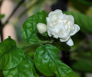 มะลิ ดอกสีขาวมีกลิ่นหอม ดอกนำมาร้อยมาลัย