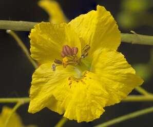 รัตมา ดอกสีเหลือง มีกลิ่นหอม ออกดอกตลอดทั้งปี