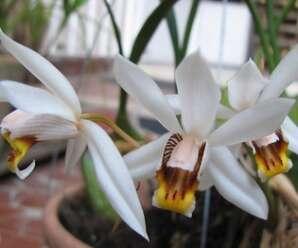 เอื้องเทียนใบแคบ เอื้องสามดอก กลีบดอกสีขาว ปากสีเหลืองส้มและมีเส้นสีน้ำตาล