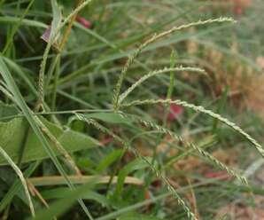 หญ้าตีนนก ต้นอ่อนใช้เป็นอาหารสัตว์ได้ดี
