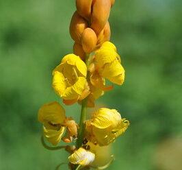 ชุมเห็ดเทศ หมากกะลิงเทศ ดอกสีเหลือง ออกเป็นช่อที่ปลายกิ่ง