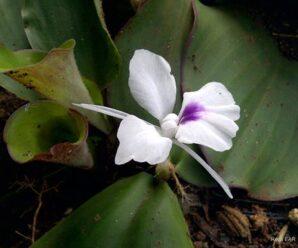 ว่านหอม ลำต้นอยู่ใต้ดิน ดอกสีขาวแต้มสีม่วง