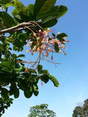 ดอกเกาลัดไทย