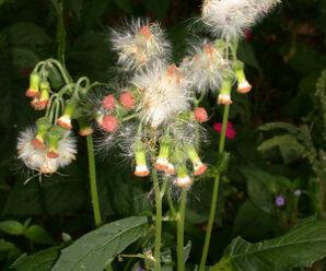หญ้าดอกฟุ้ง  ยอดอ่อน ใบ ดอกอ่อนกินสด ผัด ลวกจิ้มน้ำพริก หรือแกงส้ม