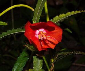 เซ่งใบยาว บานเที่ยง พืชล้มลุก ลำต้นตั้งตรง ดอกสีแดงเข้ม
