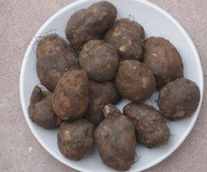 มันขี้หนู หรือ หัวมันขี้หนู (ภาคใต้) นิยมบริโภคกันมากในภาคใต้ โดยใส่ในแกงส้มหรือทำเป็นอาหารว่างต้มจิ้มเกลือ