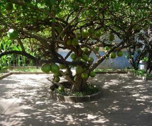 น้ำเต้าต้น เป็นไม้พุ่มโปร่งขนาดกลาง นิยมปลูกเป็นไม้ประดับ