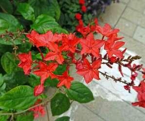 เจตมูลเพลิงแดง ดอกสีแดง รากเป็นยาขมเจริญอาหาร