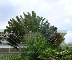 ต้นกล้วยพัด เป็นพืชมีเหง้า ก้านใบยาว ใบสีเข้ม ยื่นดิ่งขึ้นจากโคนต้น