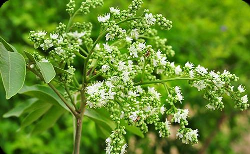 ขี้หนอน ต้นขี้หนอน ไม้ยืนต้นผลัดใบ ดอกเล็ก มีกลิ่นหอมมาก