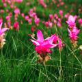 กระเจียว บัวสวรรค์ ดอกกระเจียวบาน ไม้ดอกขึ้นชื่อ จังหวัดชัยภูมิ