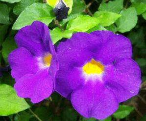 ช้องนาง พรรณไม้พุ่มเตี้ย ดอกสีม่วงเข้มป็นหลอด พรรณไม้ในวรรณคดี