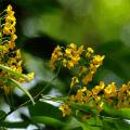 ต้นประดู่ พันธุ์ไม้พระราชทานเพื่อปลูกเป็นมงคลประจำจังหวัดชลบุรี