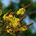 นนทรี ดอกไม้ประจำจังหวัด ฉะเชิงเทรา พิษณุโลก พันธุ์ไม้มงคลพระราชทาน นนทบุรี