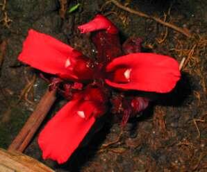 เร่วหอม เป็นพืชท้องถิ่นที่พบได้ เฉพาะในเขตจังหวัดจันทบุรี จังหวัดตราด และอําเภอแกลง จังหวัดระยอง