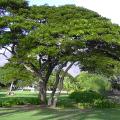ก้ามปู ต้นจามจุรี หรือต้นฉำฉา ไม้ใหญ่โตเร็ว ดอกสีชมพูอ่อน