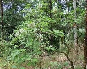 ต้นข้าวสารป่า