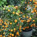 ส้มจี๊ด ส้มเคยขาว ผลไม้รสเปรี้ยว ใช้แทนมะนาวได้