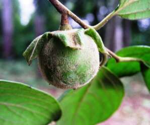 กล้วยฤาษี ผลกลมโต ผลมีขนเป็นกระจุกแน่นตามบริเวณกลีบขั้วและปลายผล