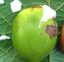 ต้นมะซาง ผลสุกรับประทานได้ ดอกมีกลิ่นหอมเย็น