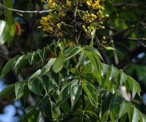 แสมสาร แก่นและลำต้นเป็นยาระบาย ถ่ายเสมหะ