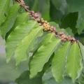 มะกา เปลือกมีรสขม พืชสมุนไพรด้านสุขภาพ ไม้ดีมีประโยชน์