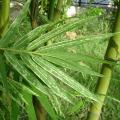 ไผ่ป่า ไม้มงคล ลำต้นเป็นปล้อง ต้นไม้สารพัดประโยชน์