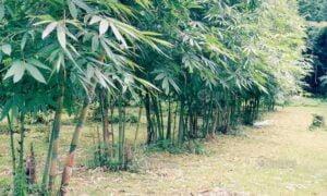 ต้นไผ่หวาน