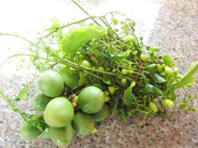 ดอกและผลผักสาบ