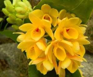 เอื้องจำปาน่าน ดอกสีเหลืองกลีบปากมีแต้มสีเลือดหมูที่โคนกลีบ ดอกมีกลิ่นหอม