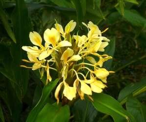 มหาหงส์เหลือง ดอกมีกลิ่นหอม กลีบดอกสีเหลืองอ่อน