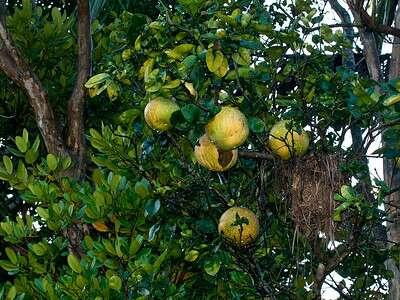 ใบส้มซ่า