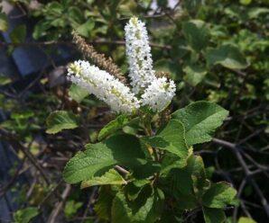 ราชาวดี ไม้ต้นขนาดเล็ก ทรงพุ่มโปร่ง ดอกย่อยมีขนาดเล็กสีขาว