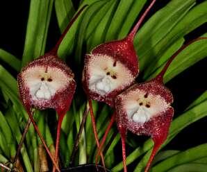 กล้วยไม้หน้าลิง กลีบดอกมีสีน้ำตาลปนม่วง ดอกมองดูคล้ายกับใบหน้าของลิง ดอกมีกลิ่นหอมคล้ายผลส้มสุก