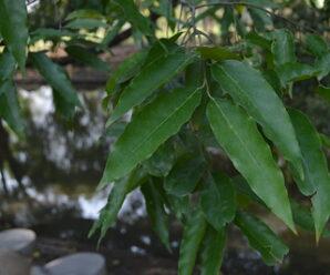 ต้นตะเคียน เป็นไม้ใหญ่มีอายุยืน เนื้อไม้สวยทนทานต่อภูมิอากาศได้ดี