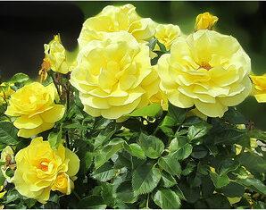 กุหลาบ ไม้ดอกที่มีกลิ่นหอม นิยมปลูกเพื่อความสวยงาม