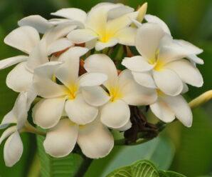 ลีลาวดี ดอกสีขาวเหลือง ปลูกเป็นไม้ประดับ