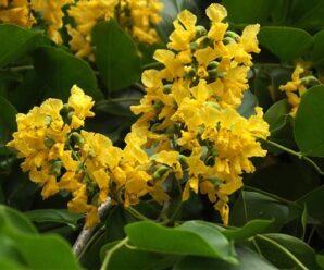ประดู่กิ่งอ่อน สะโน อังสนา ดอกมีสีเหลือง กลิ่นหอมอ่อน
